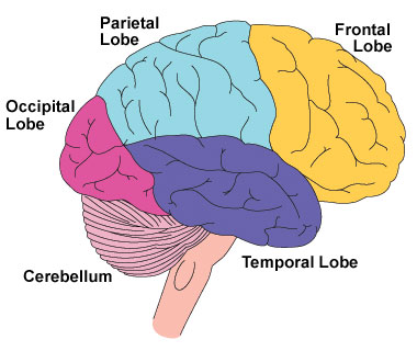 Occipital lobe – NewsMD: What\'s Hot in Health