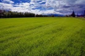 grasspollen