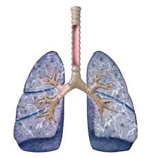 lungs5
